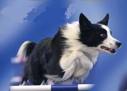 CYCLONE Border Collies
